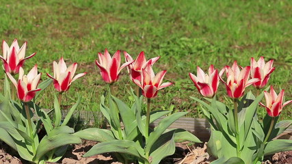 colors of red and white lily tulip