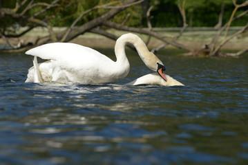 Mute Swan - copulation