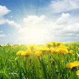 Fototapeta dandelion field
