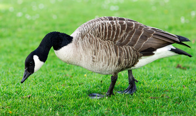 Wild Goose, Geese eating grass in the park. United Kinghdom