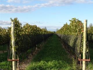 Vineyard Landscape in Mendoza