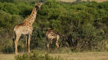 Giraffes  in natural habitat, South Africa