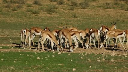 Herd of springbok antelopes feeding, Kalahari desert