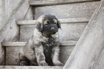 adorable fluffy grey puppy