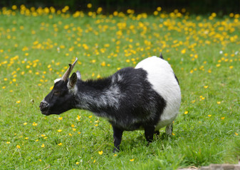 chèvre dans un prairie