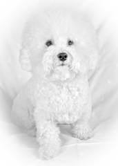 Bichon frise fluffy white dog