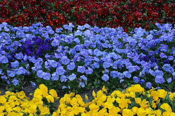 Flower bed with multicolored pansies