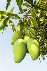 fresh thai mangoes in garden with blue sky background