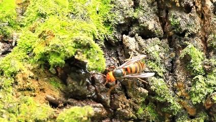 Japanese giant hornet (Vespa mandarinia) in Japan