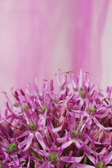 Close up Blooming Purple Allium, onion flower isolated on a