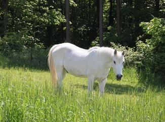 Weißes Pferd auf Frühlingswiese