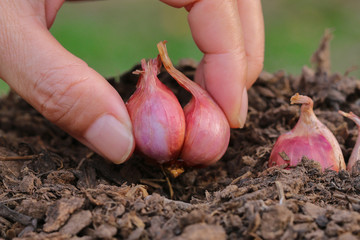 Hands planting onions to grow progressively.