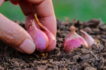Onions are ready to grow progressively.