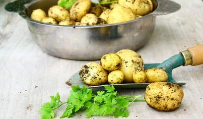 pomme de terre nouvelles,récolte du potager