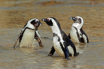 African penguins in shallow water, Western Cape, South Africa