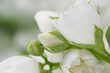 Beautiful White Jasmine Flowers Macro
