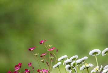 Gänseblümchchen