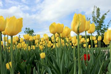 Желтые тюльпаны на фоне неба