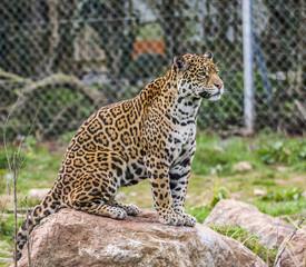 Imperious Jaguar
