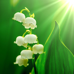 Lilies of the vally