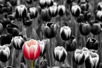 Red tulip among monochrome tulips