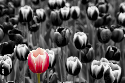 Obraz Red tulip among monochrome tulips