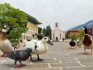 ducks in torboke