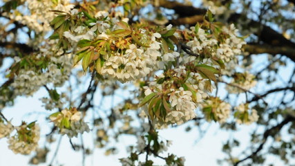 blossom apple tree in the wind