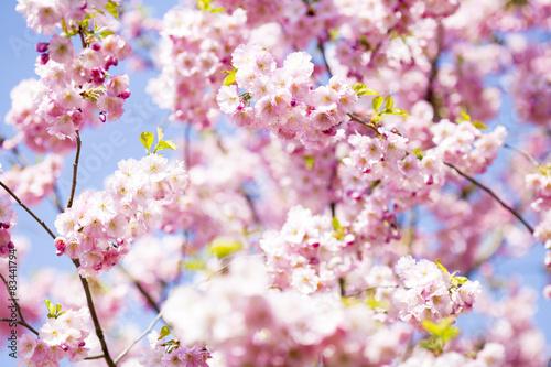 Poster Sakura. Tree cherry on the garden.