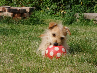 Dog playing with a red ball