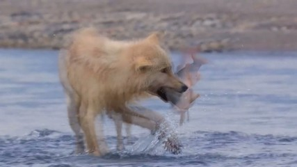 wolf in shallow water caught fish