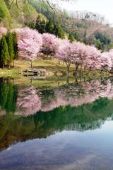 中綱湖 湖面に映る満開の桜