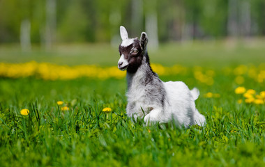 adorable goat kid walking outdoors