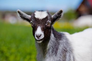 adorable goat kid portrait