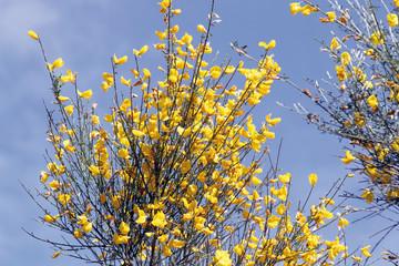 Flores de escoba, sytisus scoparius, Hernán Pérez, España