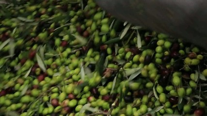 olive verdi raccolta