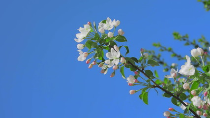 blossoming of an apple-tree white