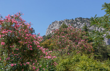 Flowering oleander in the Crimea on the South Coast