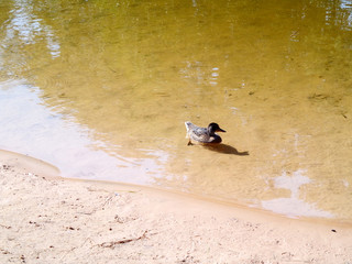 Duck on the shore of the river