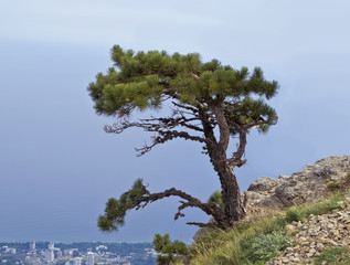 Lonely pine tree on the slope of mount AI-Petri.