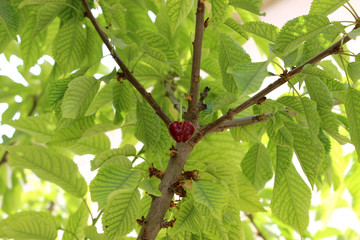 one cherry in tree