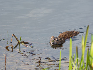 beaver on the lake