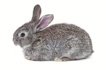 Grey bunny isolated