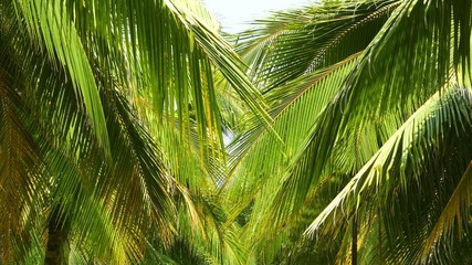 coconut palm leaves 4k