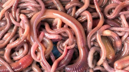 many red earthworms - bait for fishing
