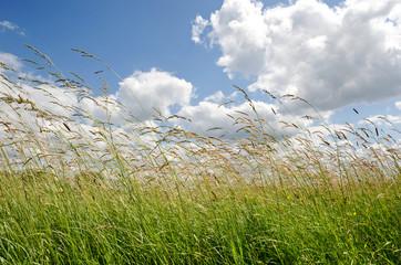 Grashalme –Hohes Gras mit Wolkenhimmel im Sommer