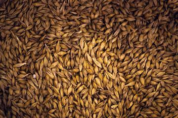 Barley Grain Seed Full Frame