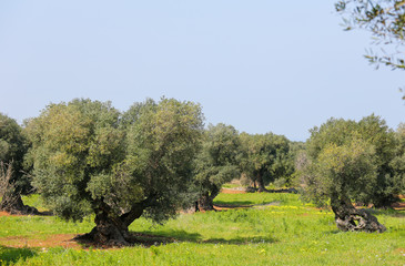 Olive garden near Ostuni, Puglia, South Italy