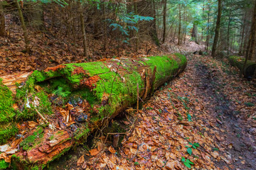 mountain fir tree forest scene