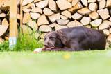 Fototapeta Pies i drewno
